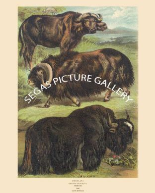 Musk Ox, Yak, Cape Buffalo